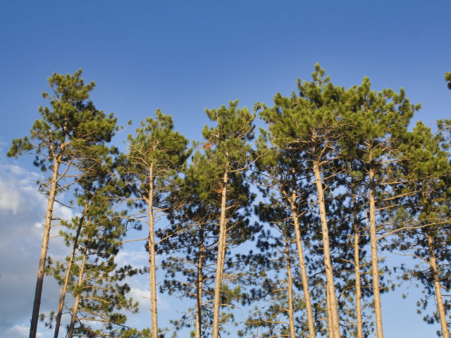 Pines in Eau Claire