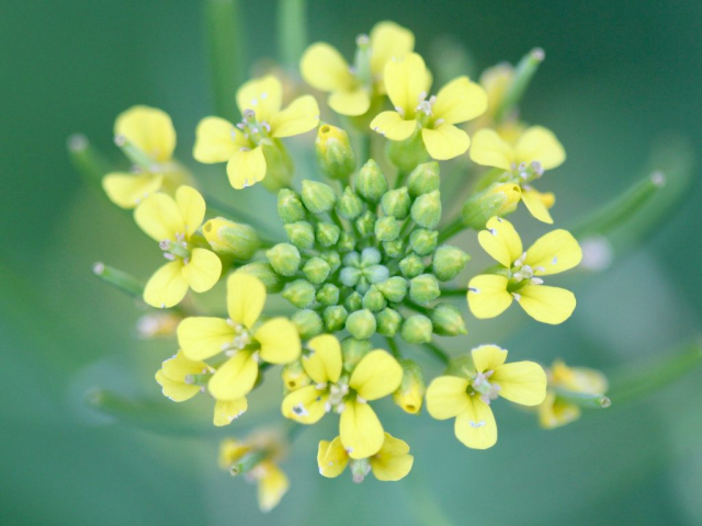 Bunch of small yellow flowers and buds