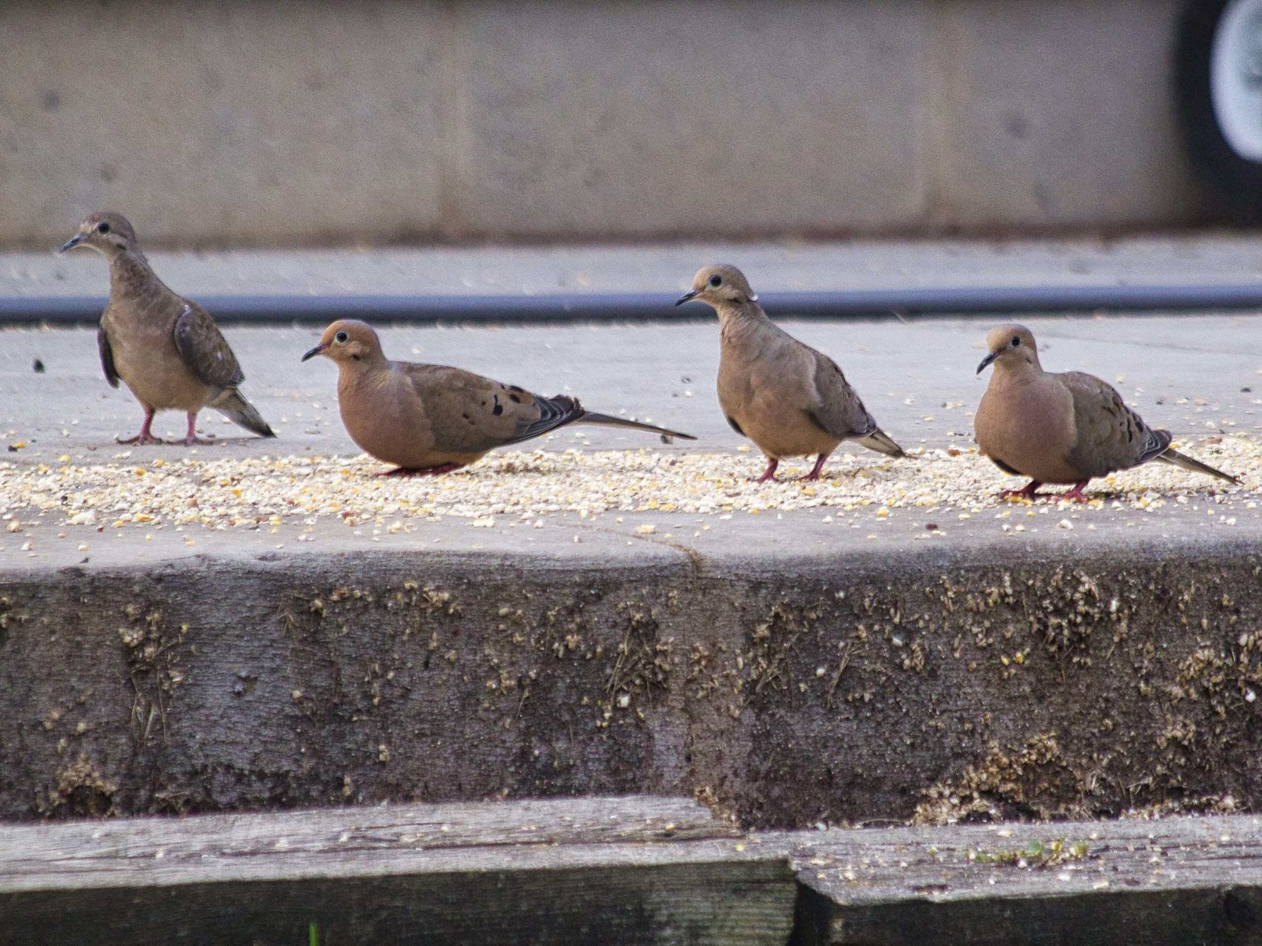 Four mourning doves