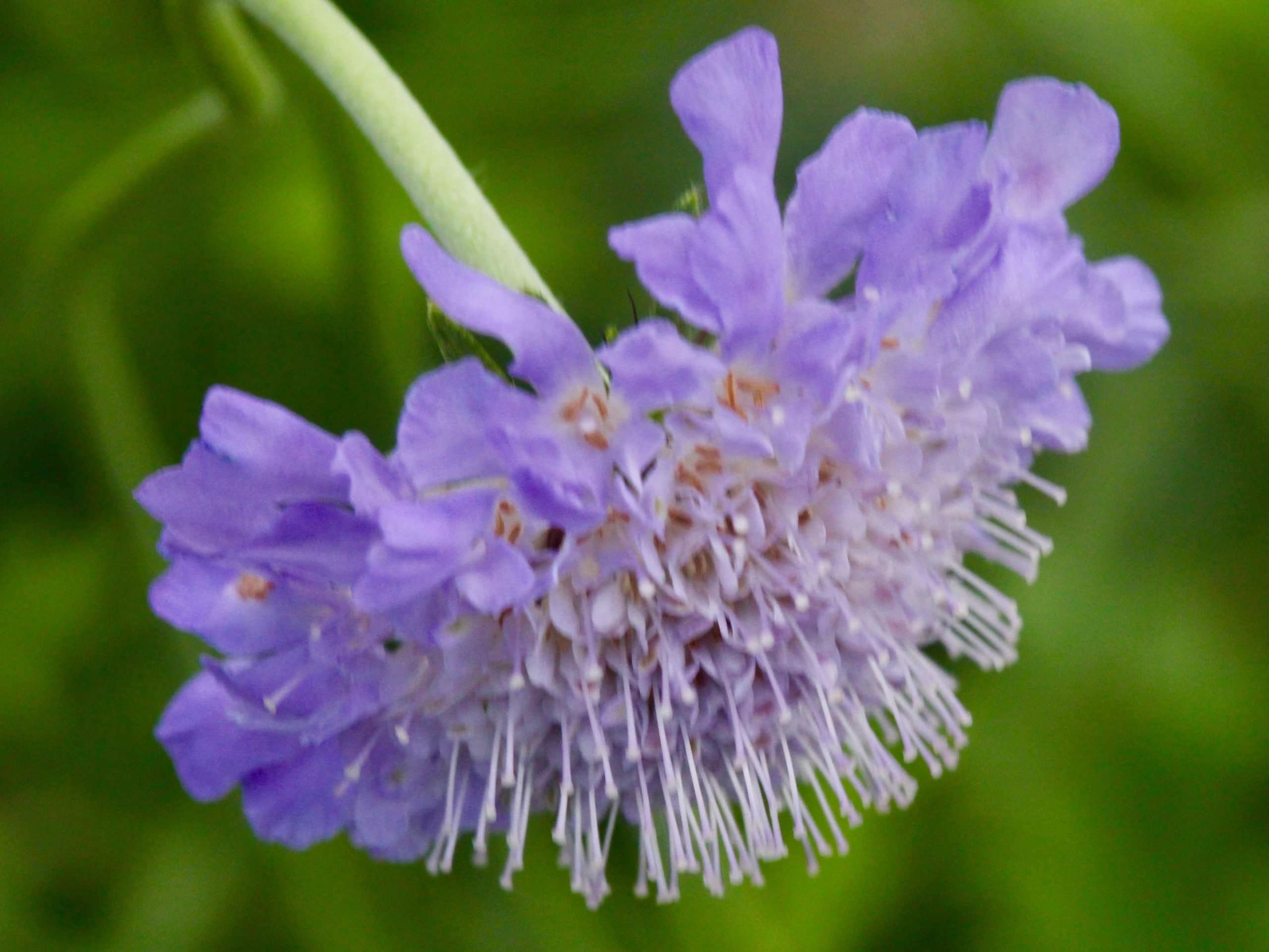 Lavender flower from the side