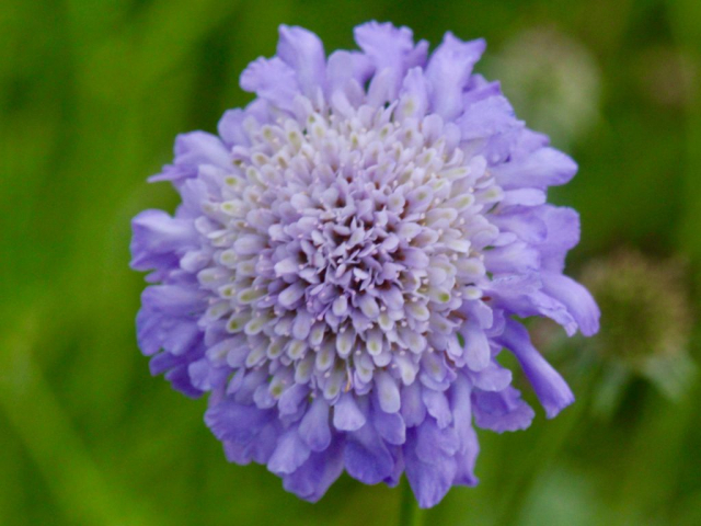 Lavender flower from the top